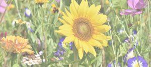 Sonnenblume auf einer Wiese mit anderen Blumen